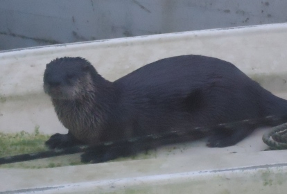otter cropped
